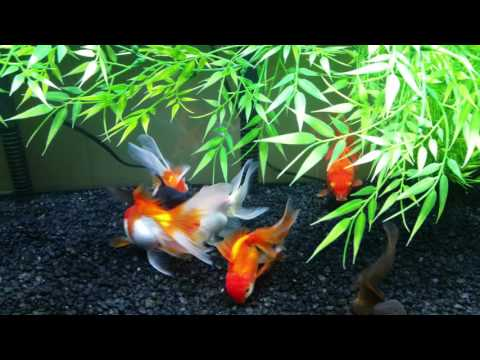 Happy & Healthy Goldfish