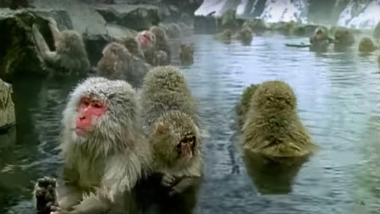 Monkey Spa | Cousins | BBC Earth