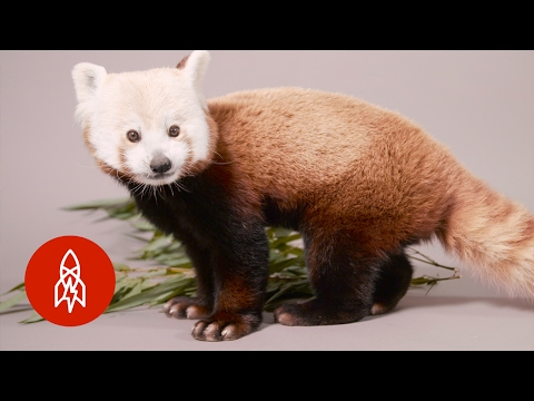 Crawling the Canopy for Survival with the Red Panda