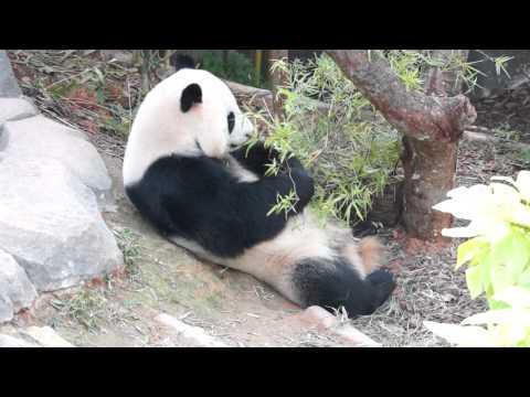 The Giant Panda Eats Bamboo