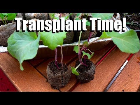 Transplanting Indoor Seedlings to Larger Containers - How and When // Spring Garden Series #5