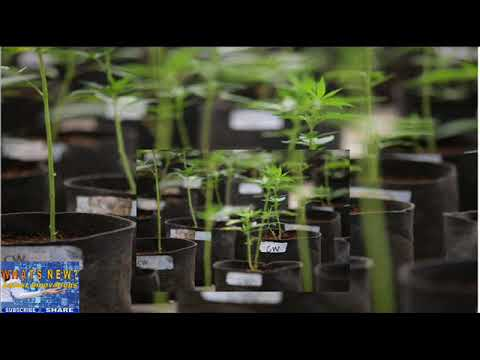 F.D.A. Warns Companies Against Claims That Marijuana Cures Diseases.