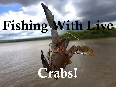 Fishing With Live Crabs!