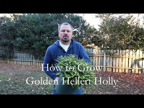 How to grow Golden Helleri Holly with a detailed description