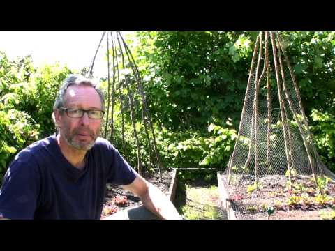 June on Peter's Plot: Earthing up Potatoes; Caring For Broad Beans