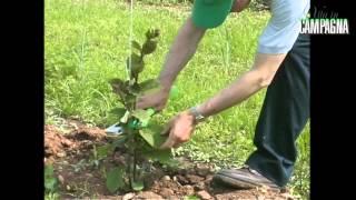 Potatura di allevamento dell'actinidia, la pianta del kiwi