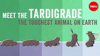Meet the tardigrade, the toughest animal on Earth - Thomas Boothby