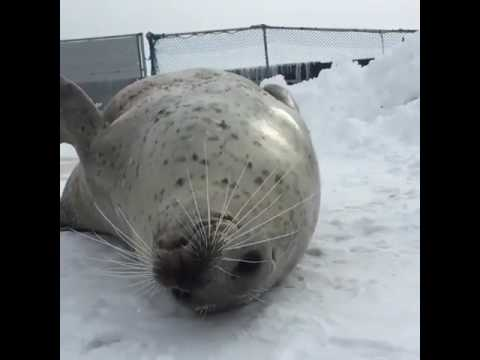 seal slapping belly