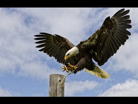 Documentaries film - The American Bald Eagle - National Geographic Documentary 2015