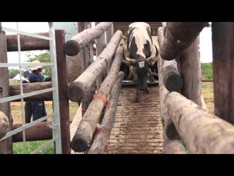 Jozini Livestock Auction