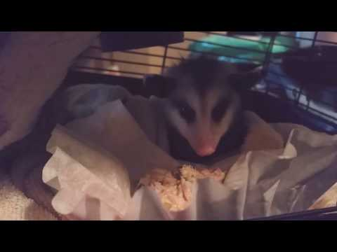 Baby Possum Eating solid food for the first time