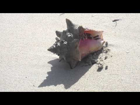 A hermit crab found home in a conch shell.