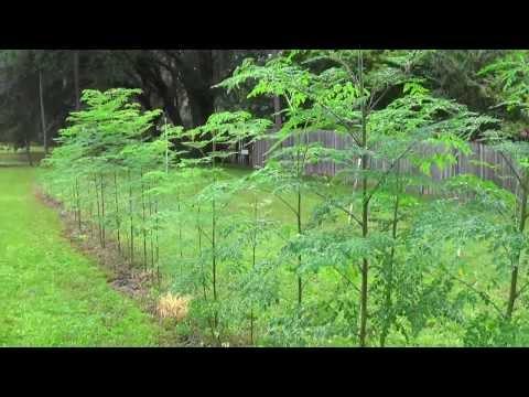 Growing Moringa Oleifera