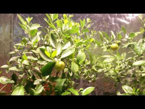 Rośliny pod LED SpectroLight Blast 240 - kwitnienie