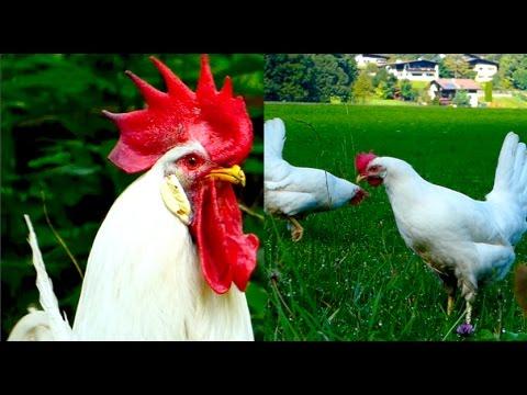 CHICKEN BREEDS E7: White Leghorn hens and rooster, egg layers, Legehybriden Weiß Legehennen