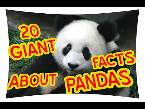 20 GIANT FACTS ABOUT PANDAS