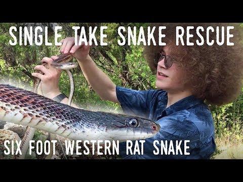 WILD RAT SNAKE RESCUE (Filmed in One Take!)