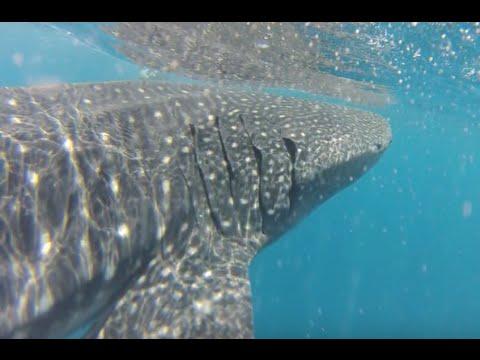 Whale Shark Isla Mujeres 2016