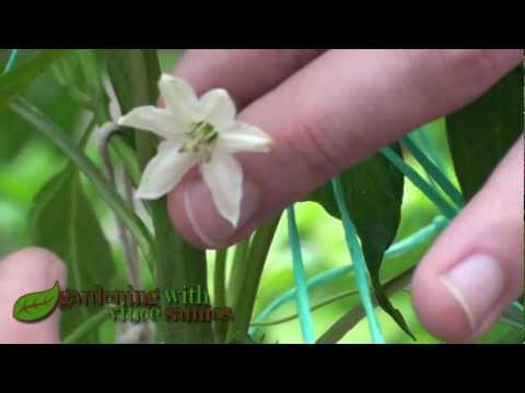 How to pollinate chillies and peppers