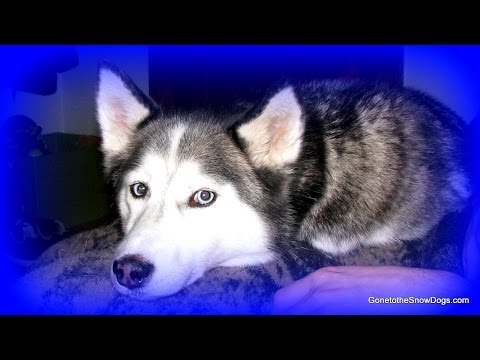 SIBERIAN HUSKY SHILOH PLAYS THE DRUMS