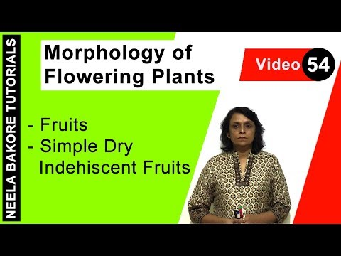 Morphology of Flowering Plants - Fruits - Simple Dry Indehiscent Fruits