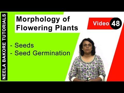 Morphology of Flowering Plants - Seeds - Seed Germination