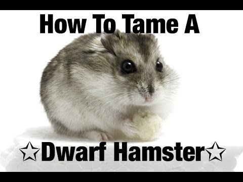 How to Tame A  Dwarf Hamster