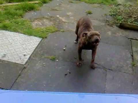 Training Dog to Bark on Command, Dog Training