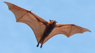 Are Bats Flying Primates?