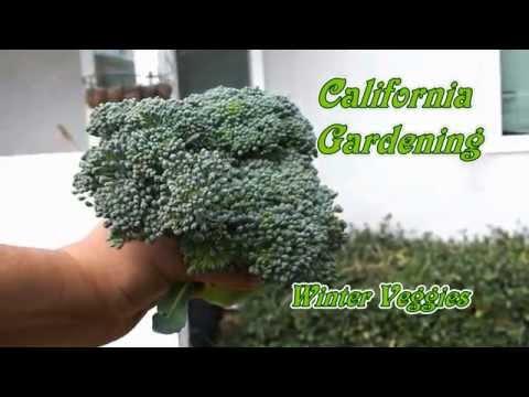 Harvesting Winter Vegetables - Broccoli, Savoy Cabbage & Kohlrabi