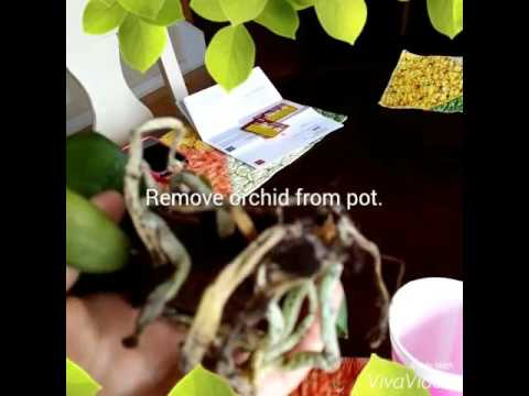 How to treat root rot/fungus on orchids!
