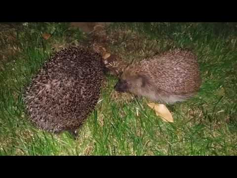 A couple of hedgehogs in the garden