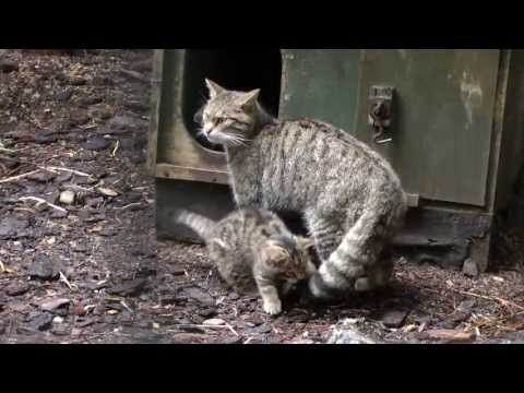 Scottish Wildcat Kittens at the Highland Wildlife Park (September 2013) - 02