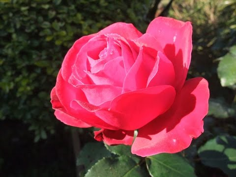 How to prune a Rose bush to encourage more blooms
