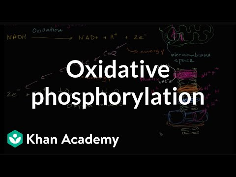 Oxidative phosphorylation and the electron transport chain | Khan Academy