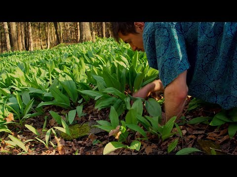 Wild Food: Foraging and Cooking Ramps /Wild Leeks