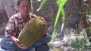 How To Eat A 20 Pound Jackfruit And Other Jack Fruit Information
