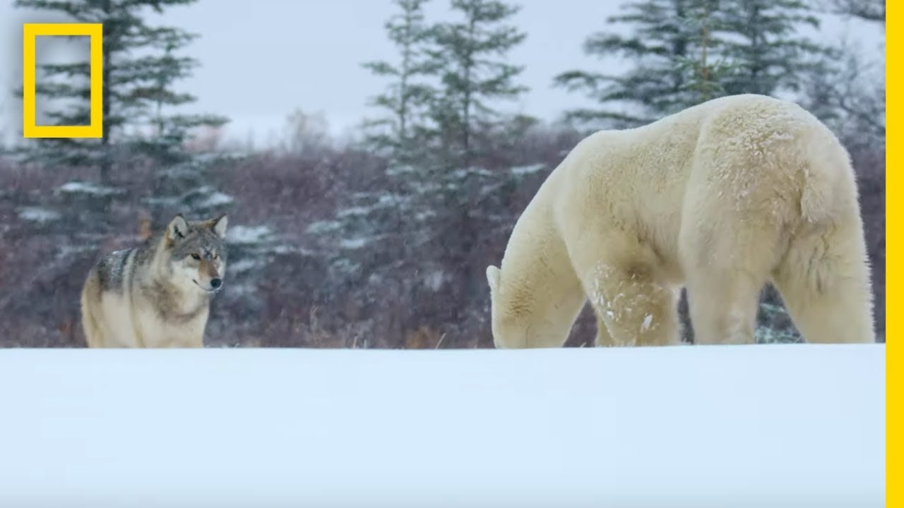 Download Wolf Pack Takes on a Polar Bear - Ep. 1 | Wildlife: The Big Freeze MP3 Gratis