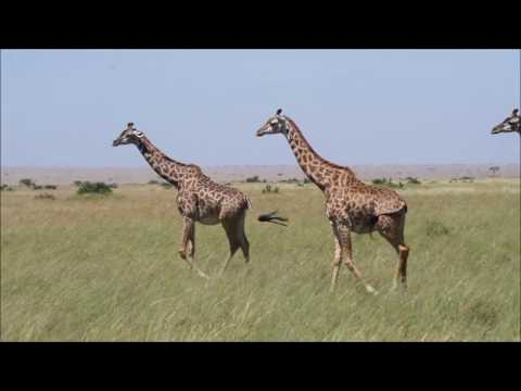 How do Giraffes watch a Kill
