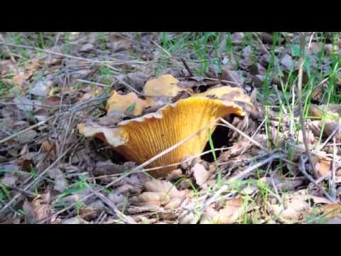 Chanterelle Mushroom Hunt Los Angeles