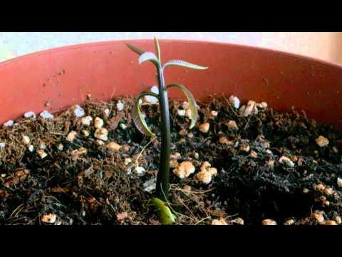 Mango Seedling Time Lapse Video