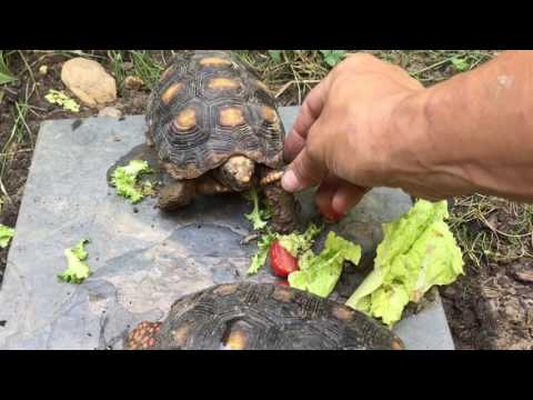 Little Redfoot tortoise needs help eating worms