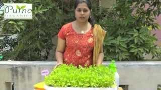 How To Grow Coriander In Your Terrace Garden