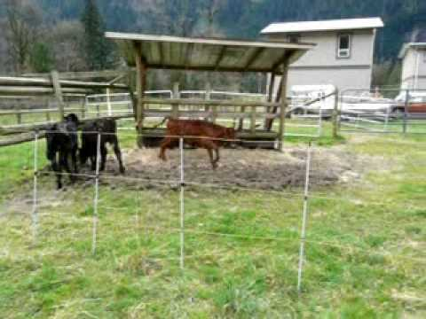 Cows Discover Electric Fence