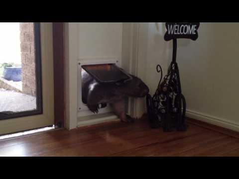 Ruby the Wombat using the cat door