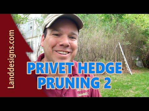 Prune Overgrown Privet Hedge 2