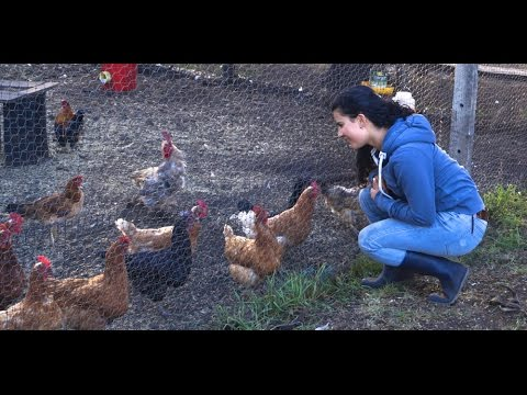 Chickens not laying eggs; causes and solutions