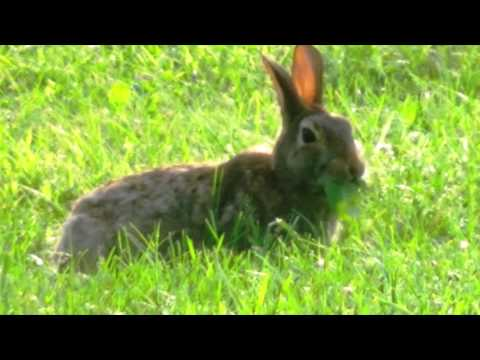 Fat bunny sucks down large leaves in seconds. MUST WATCH it's too funny