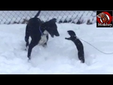 Mink and Dog Playing in the Snow