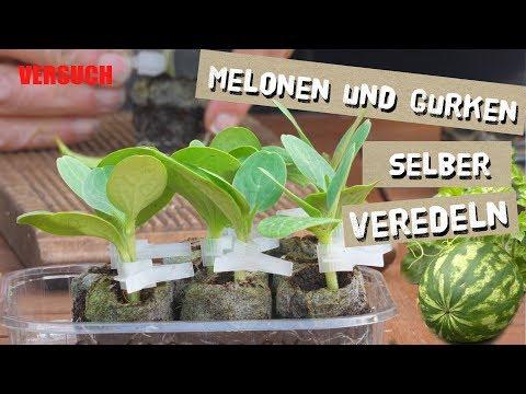 Melonen und Gurken selber veredeln- Teil 1